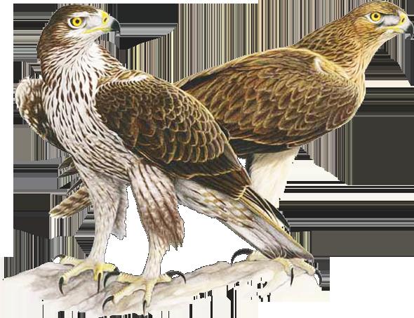 Aquila di Bonelli (Aquila fasciata)