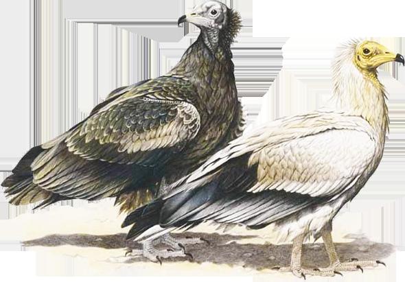 Capovaccaio (Neophron percnopterus)