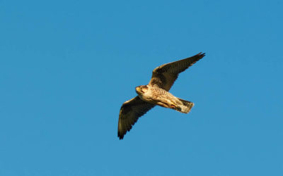 Paper on Lanner Falcon in Sicily just out!