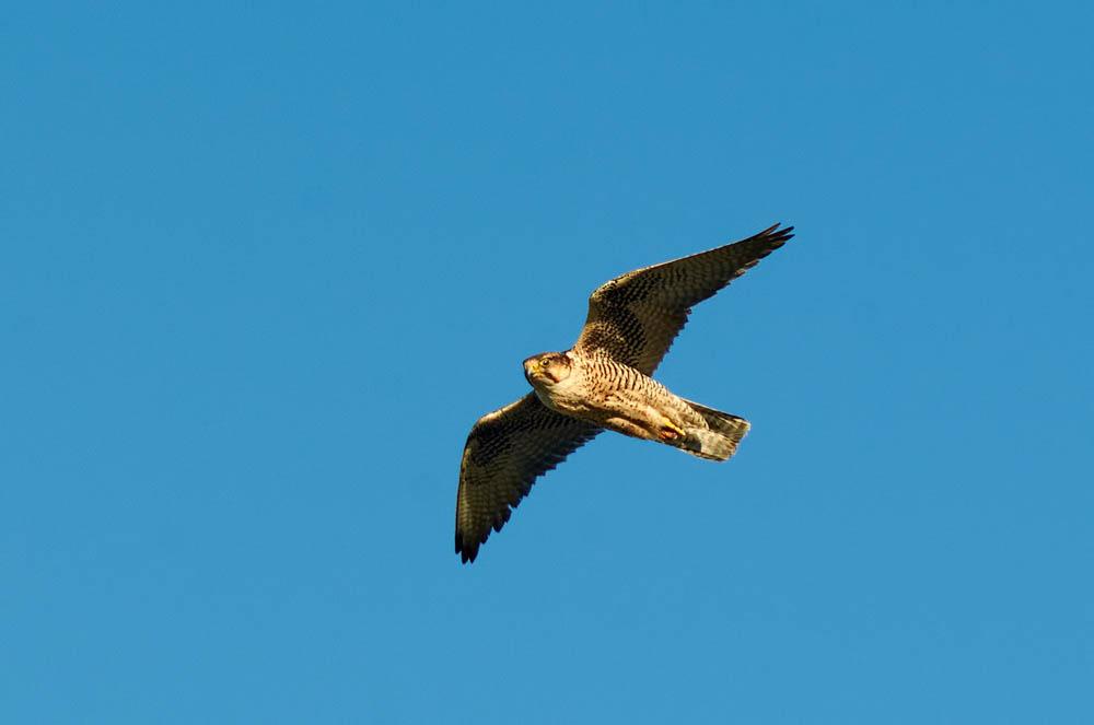 Nuovo articolo scientifico sul Falco Lanario grazie al LIFE ConRaSi