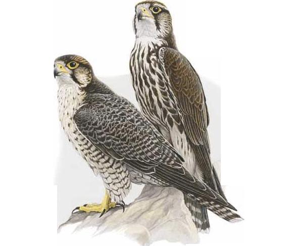 Lanario (Falco biarmicus)