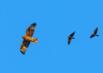 Bonelli's eagle – Photo: S.Cacopardi