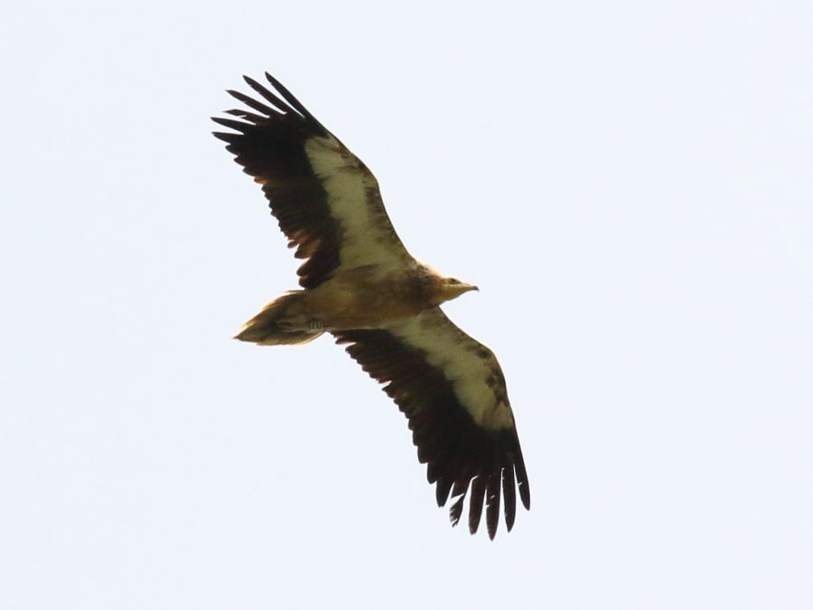 Spotted in Sicily Egyptian Vulture marked in France