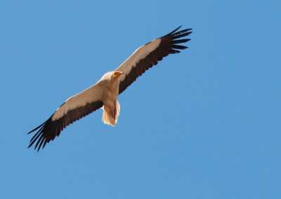 Egyptian vulture – Photo: S.Cacopardi
