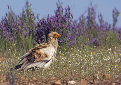 Egyptian vulture - Photo: WWF
