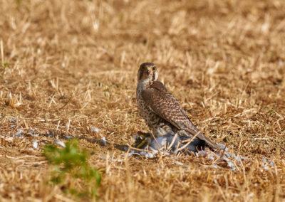 Lanner Falcon – Photo: S.Cacopardi