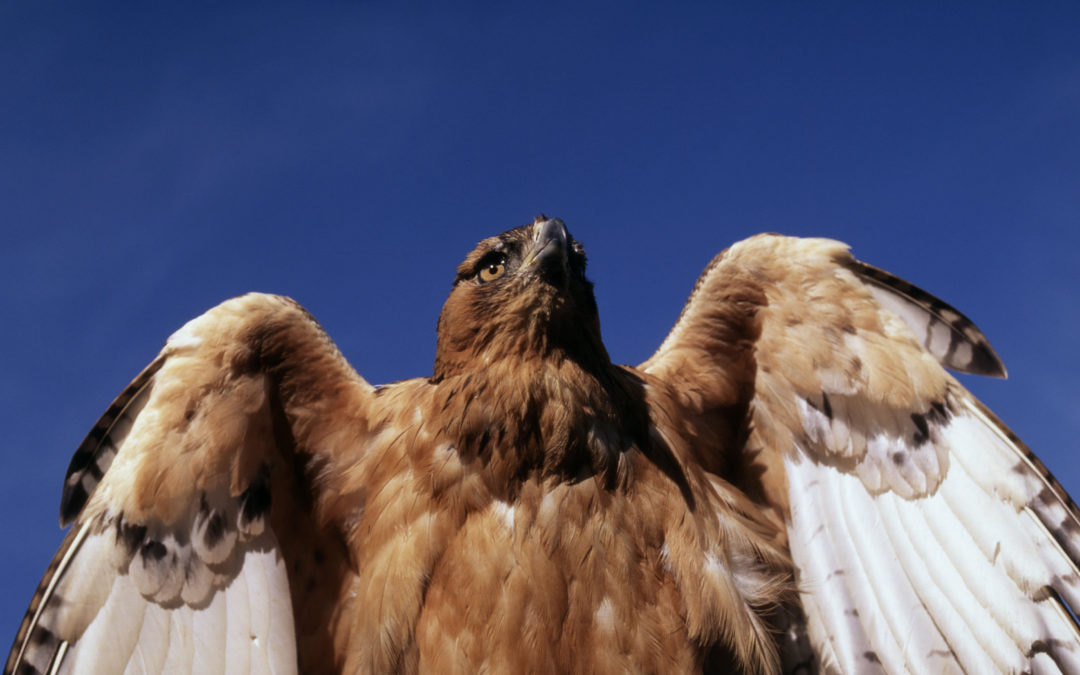Bonelli's eagle confiscated in Sicily transferred to Spain