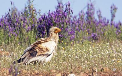Collaborazione con il progetto LIFE Egyptian Vulture