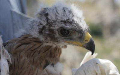 Thanks to LIFE 8 young Bonelli's Eagles GPS-tagged in Sicily