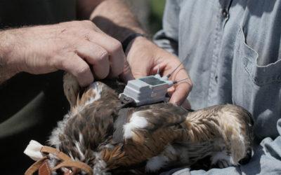 Nato il primo pulcino di Aquila di Bonelli da aquile equipaggiate con trasmettitore satellitare