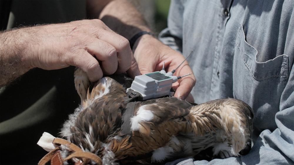 La collocazione del trasmettitore GPS (foto Andreini/Di Federico)