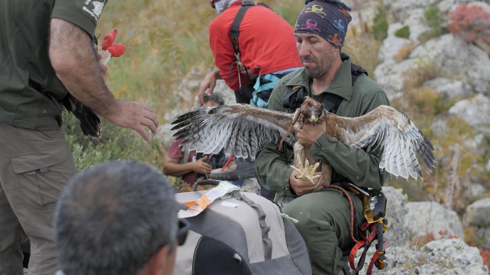 A magnificent young Eagle (photo Andreini/Di Federico)