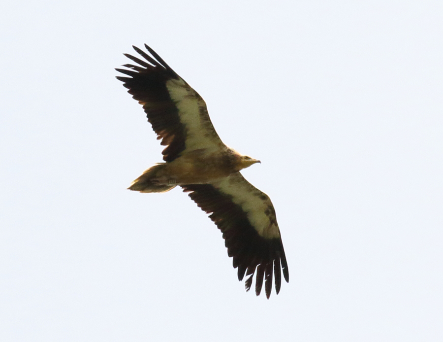 Egyptian Vulture ringed in France and observed in Sicily (photo Rannisi)