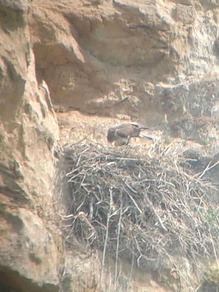 An Eagle at the nest (photo Di Vittorio).