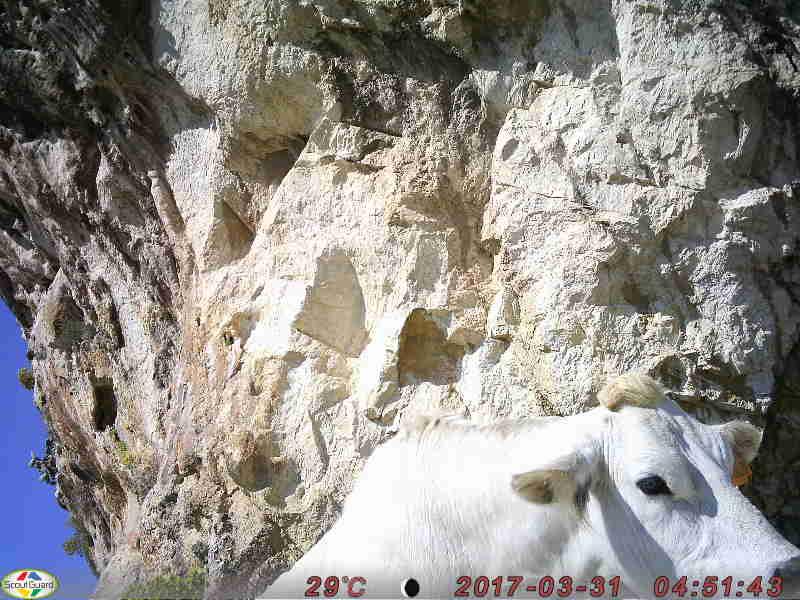 Una mucca…