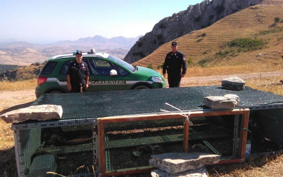 5 giovani di falco pellegrino tornano in libertà in Sicilia