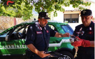 Recente operazione contro il traffico di rapaci in Sicilia
