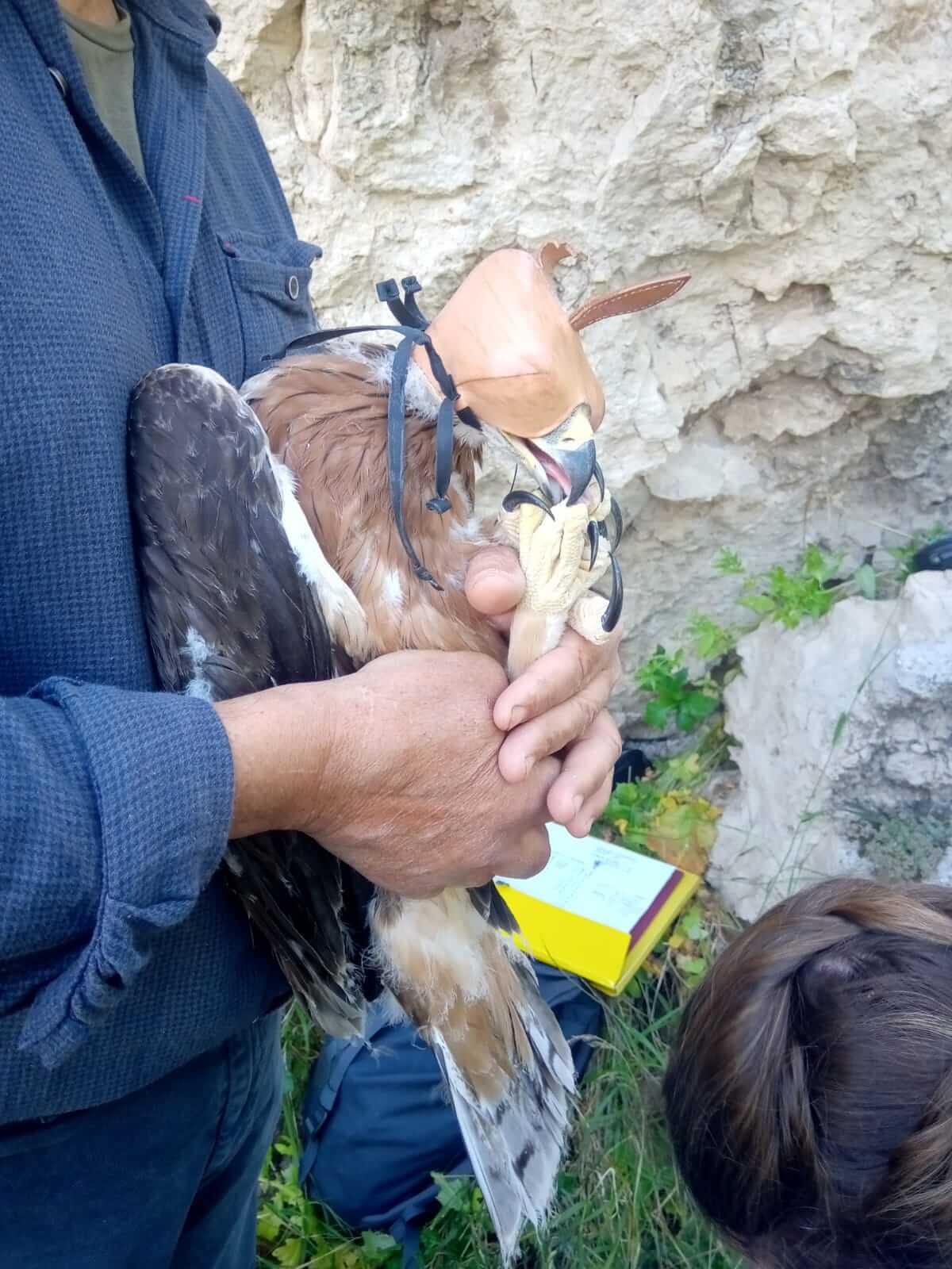 Giovane esemplare di Aquila di Bonelli sottoposto a misurazioni biometriche (foto Pollutri)